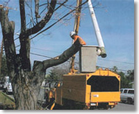A tree trimming crew working near a large tree